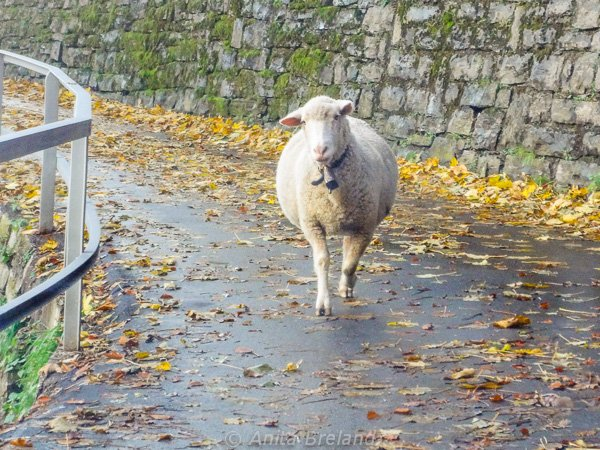 Share the road with sheep in the Valle di Muggio