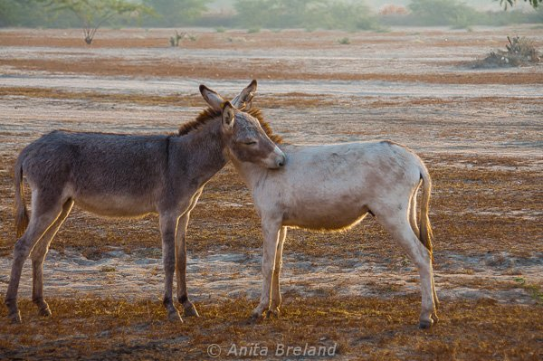Donkeys in Gujarat