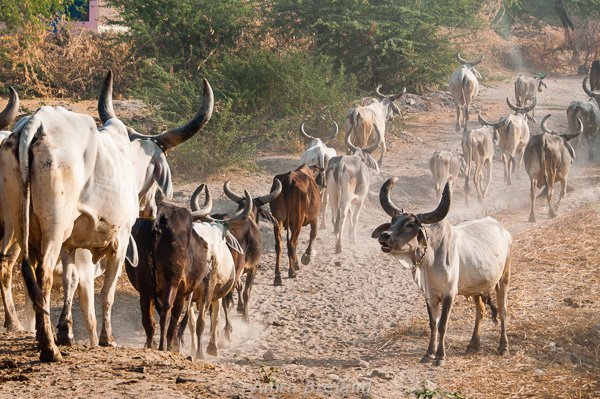 Cattle in Gujarat