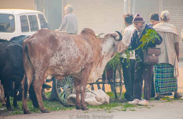 Breakfast for cows, Ahmedabad